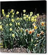 Biltmore Daffodils Canvas Print