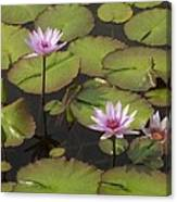 Biltmore Water Lillies Canvas Print