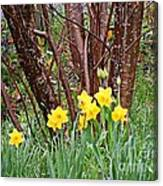 Birch And Daffiodils Canvas Print