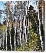 Birch Canvas Print