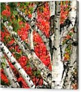 Birch Eclipsing Maple Canvas Print