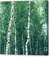Birch Forest - Green Canvas Print