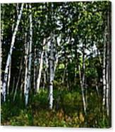 Birch Grove In The Sunlight Canvas Print