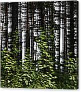 Birch Illusion Canvas Print