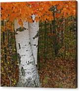 Birch In Autumn Canvas Print