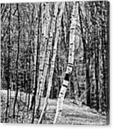 Birch Sentinels Canvas Print