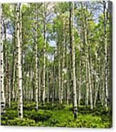 Birch Tree Grove In Summer Canvas Print