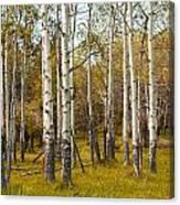 Birch Tree Grove No. 0126 Canvas Print