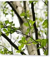 Birch Tree In Spring Canvas Print