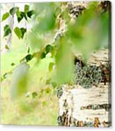 Birch Tree. The Soul Of Russian Nature Canvas Print