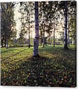 Birch Trees, Imatra, Finland Canvas Print