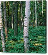 Birch Trees In A Forest Canvas Print