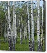 Birch Trees In A Grove No. 0148 Canvas Print