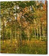Birch Trees2 Canvas Print