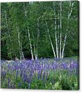 Birches In The Blue Lupine Canvas Print