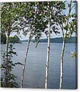 Birches On Sunapee Canvas Print