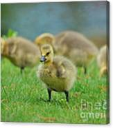 Bird - Baby Goose -leader Of The Pack Canvas Print
