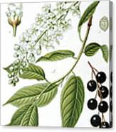 Bird Cherry Cerasus Padus Or Prunus Padus Canvas Print