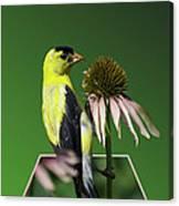 Bird Eating Seeds Canvas Print