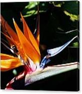 Grotto Bay Bird Of Paradise # 1 Canvas Print