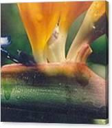 Bird Of Paradisephoto Taken Early  Canvas Print