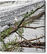 Bird On A Weir Canvas Print