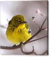 Bird - Pine Warbler - Yellow Beauty Canvas Print