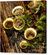 Birds Nest Fungi Canvas Print