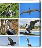 Birds - Pelicans - Boxed Cards Canvas Print