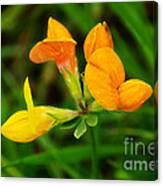 Birdsfoot Trefoil Canvas Print