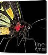Birdwing Butterfly Canvas Print