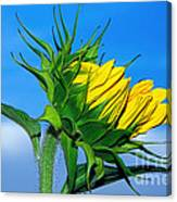 Birth Of A Sunflower By Kaye Menner Canvas Print
