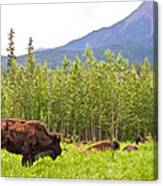 Bison Along Alaska Highway In British Columbia-canada Canvas Print