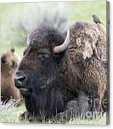 Bison And Birds Canvas Print