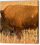 Bison At The Elk Ranch In Grand Teton National Park Canvas Print