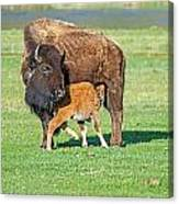 Bison Baby And Mom Canvas Print