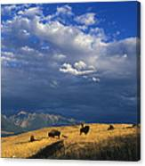 Bison Back From The Brink Canvas Print