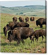Bison Buffalo In Wind Cave National Park Canvas Print