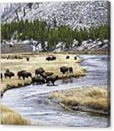 Bison By The Madison Canvas Print