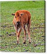 Bison Calf In The Flowers Yellowstone National Park Canvas Print