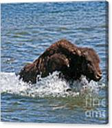 Bison Calf Running After Mama In Yellowstone National Park Canvas Print