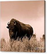 Bison Cow On An Overlook In Yellowstone National Park Sepia Canvas Print