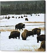 Bison Cows Browsing Canvas Print