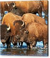 Bison Family In The Lamar River In Yellowstone National Park Canvas Print