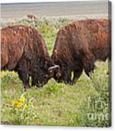 Bison Fight In Grand Teton National Park Canvas Print