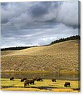 Bison Grazing Along The Yellowstone River In Hayden Valley Canvas Print