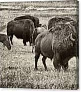 Bison Herd Bw Canvas Print
