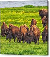 Bison Herd Grazing In Lamar Valley Canvas Print