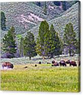 Bison Kicking Up Dust In The Meadow In Yellowstone National Park-wyoming  Canvas Print