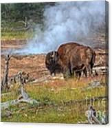 Bison Mud Canvas Print